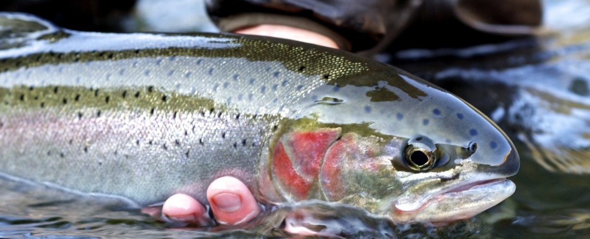 Close up of steelhead fish.