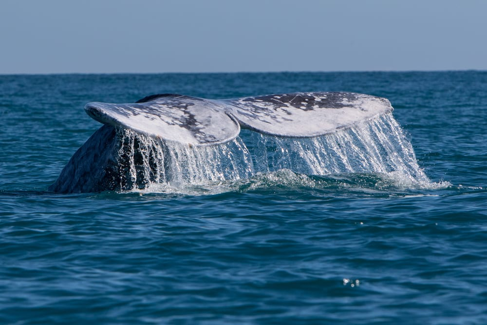 Whale fluke rising from the water.