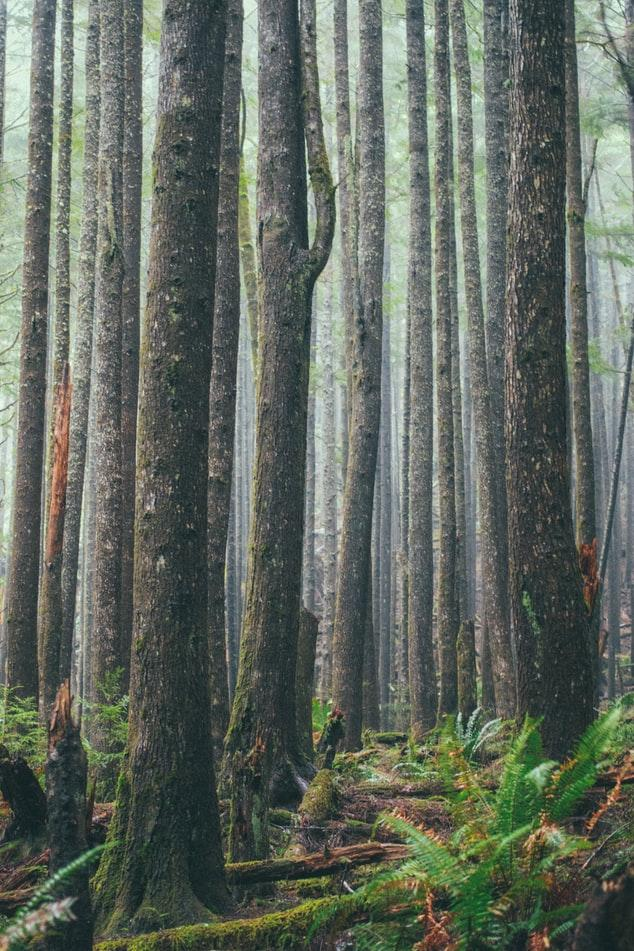 Photo of tall trees inside Ecola State Park.